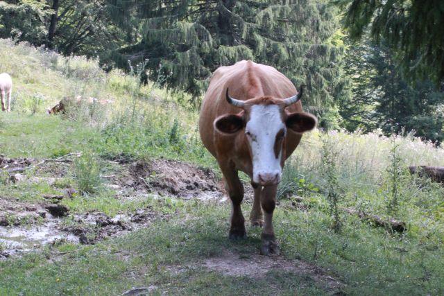 Die Kuh folgte mir gemütlich