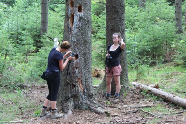 Schwarzspechtlöcher. Sie suchen nach den Holzameisen.