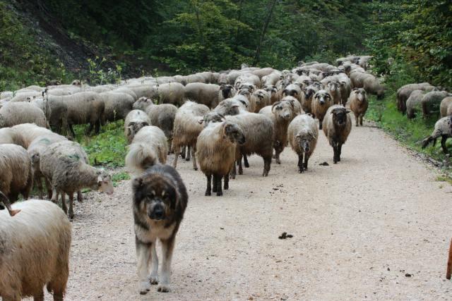 Schafherde mit Herdenschutzhunde