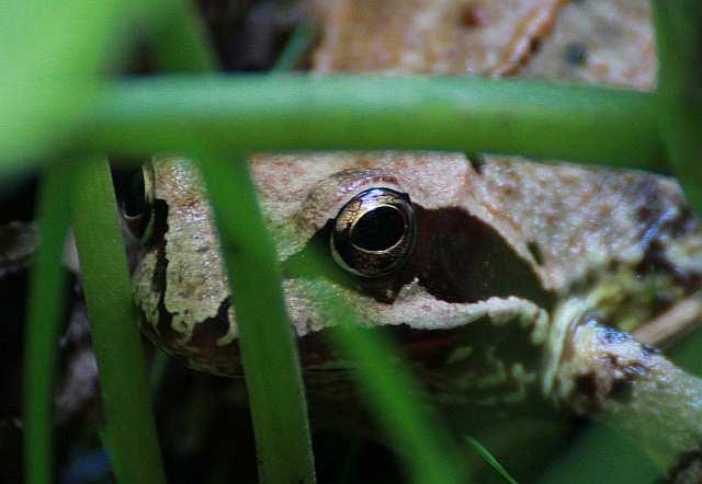 Im Auge des Frosch