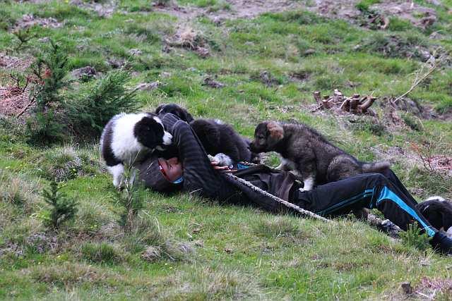 Welpen der Herdenschutzhunde mit Hirten.