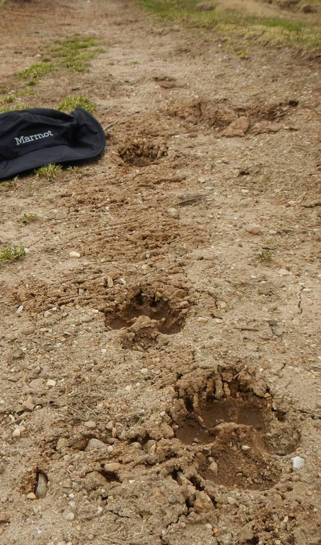 Spur des Wolfes