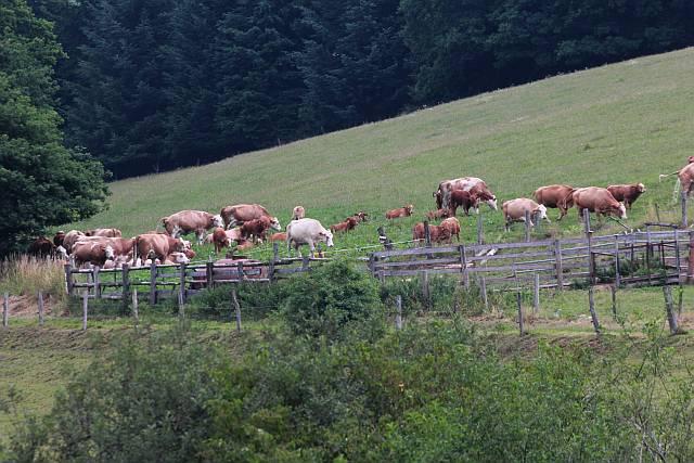 Rinderherde mit Kälber