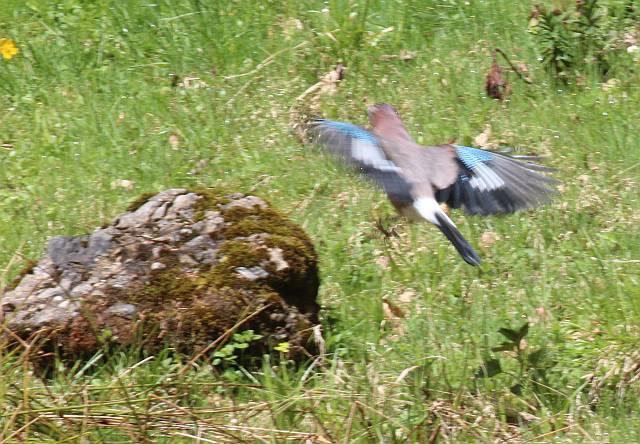 Eichelhäher im Anflug auf den Stein.