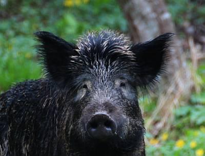 ist das ein Wildschwein?